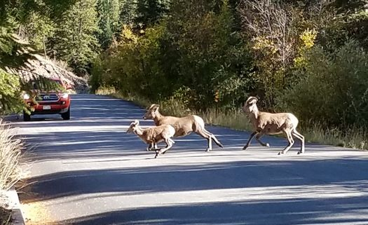 Big Horn Sheep Near Georgetown